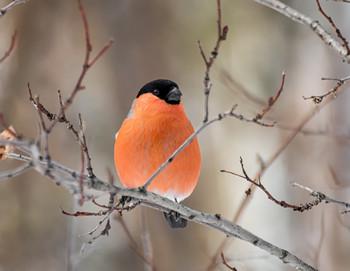 красногрудый.. / снегирёк (самец)