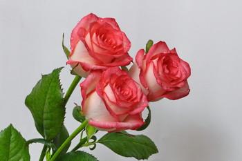 С 8 марта,уважаемые женщины! / Розы к 8 марту