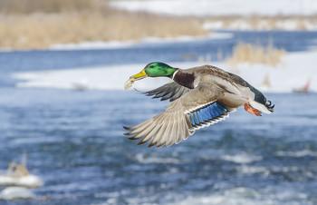 Праздник или выходной, будет уткам нарезной... / Россия. Тула. Река Упа.