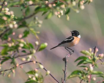 черноголовый чекан.. / это май месяц.. охотник за насекомыми, а их в дичке цветущей в достатке.. охотится. (самец)