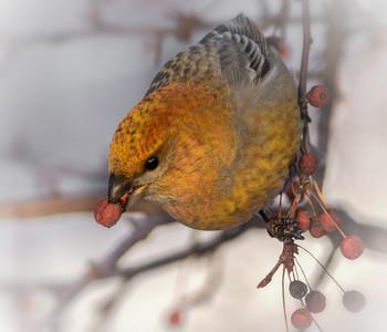 Щур.. / самка или самец (первогодка) вытаскивает семена из плода, он их больше всего любит.