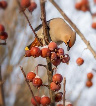 Свиристели.. / на яблочках..