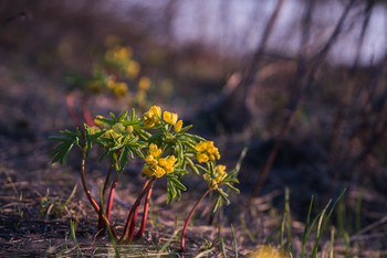 Леонтица алтайская / Леонтица алтайская - один из первых цветков