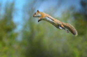 """American red squirrel / Красная белка (лат. Tamiasciurus hudsonicus) — вид грызунов семейства беличьих, наиболее распространённый и характерный представитель рода красных белок. Научное видовое название «hudsonicus» дано животному в честь Гудзонова залива, места, в котором оно было впервые описано. ======== Отвечаю на вопрос:  Нет! Снимок не случайный! Белка очень смышленный зверек,  и после кратковременного обучения """"летает"""" с удовольствием)"""