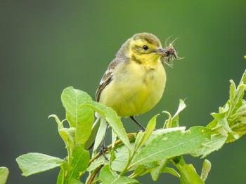 Желтобрюшка / Самка желтоголовой трясогузки. На предыдущем фото - самец.