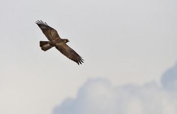 Полет / Наш местный хищник. А выглядит словно орел