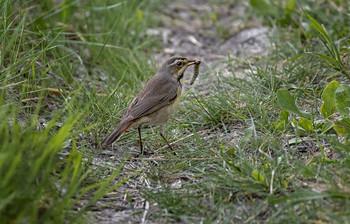варакушка на охоте (самка) / снято совсем вечером.. ) птичка бегала в траве - охотилась.. )