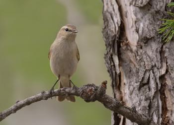 Пеночка теньковка.. / если не ошибаюсь. мелкая птаха, питается мухами, мошками и др.