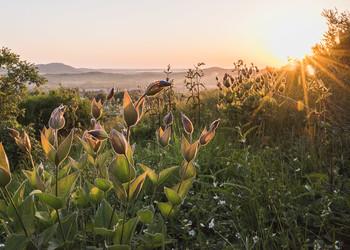 Купаясь в солнечных лучах / Ломонос расцветает