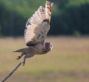 на охоту.. / болотная сова..