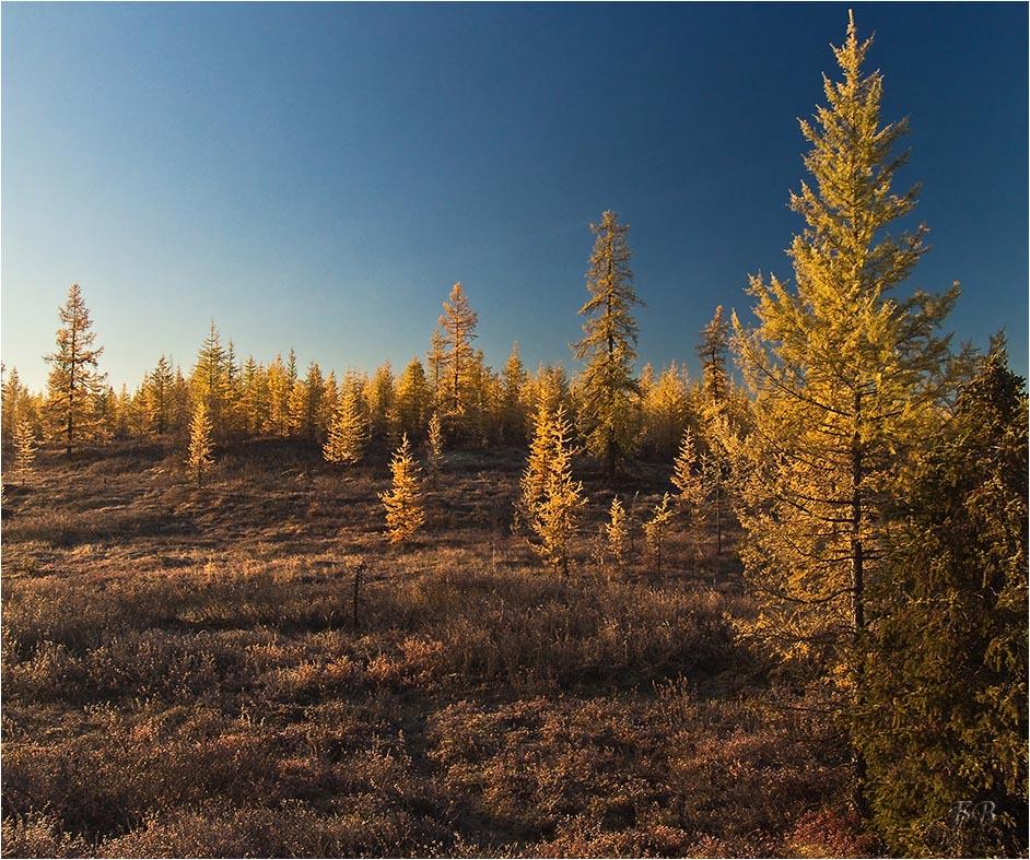 деревья в якутии картинка взрослеет