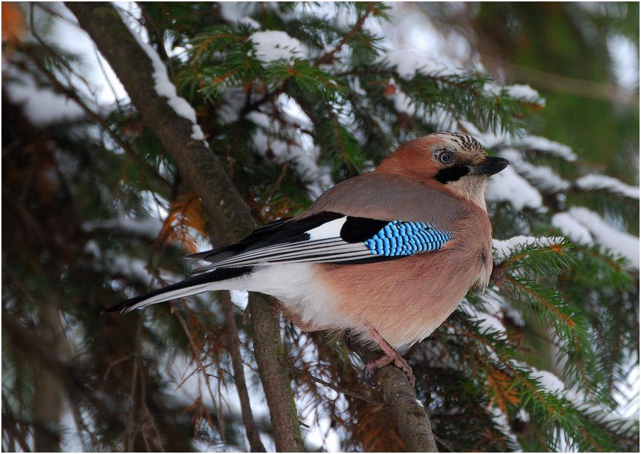 Фото и названия лесных птиц это воспаление