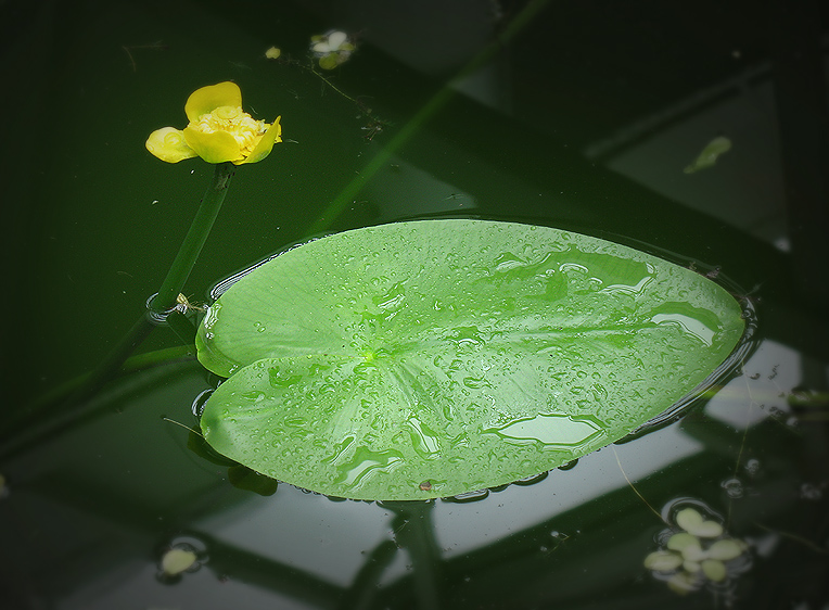 Кувшинки листья картинки
