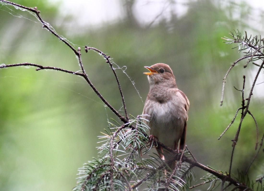 масштаб картинки птицы в весеннем лесу тоже люблю разборные