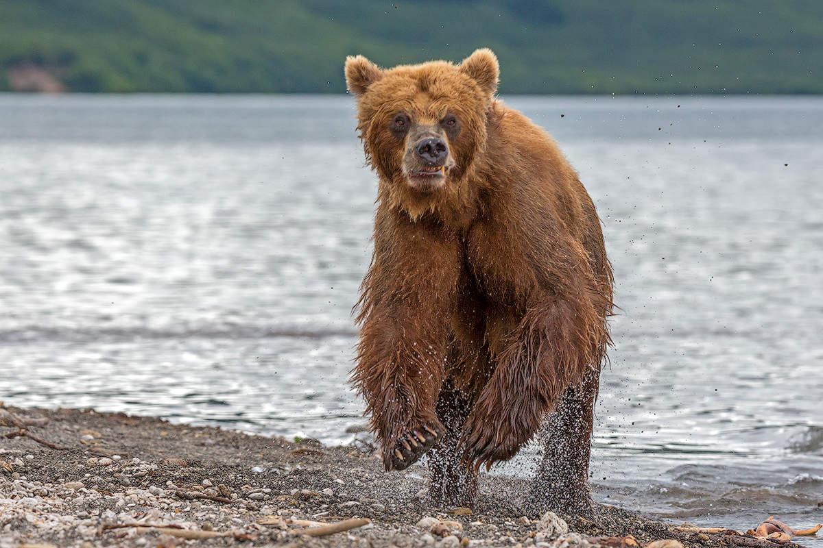 инстаграме можно картинки камчатский медведь подвесных веревочных