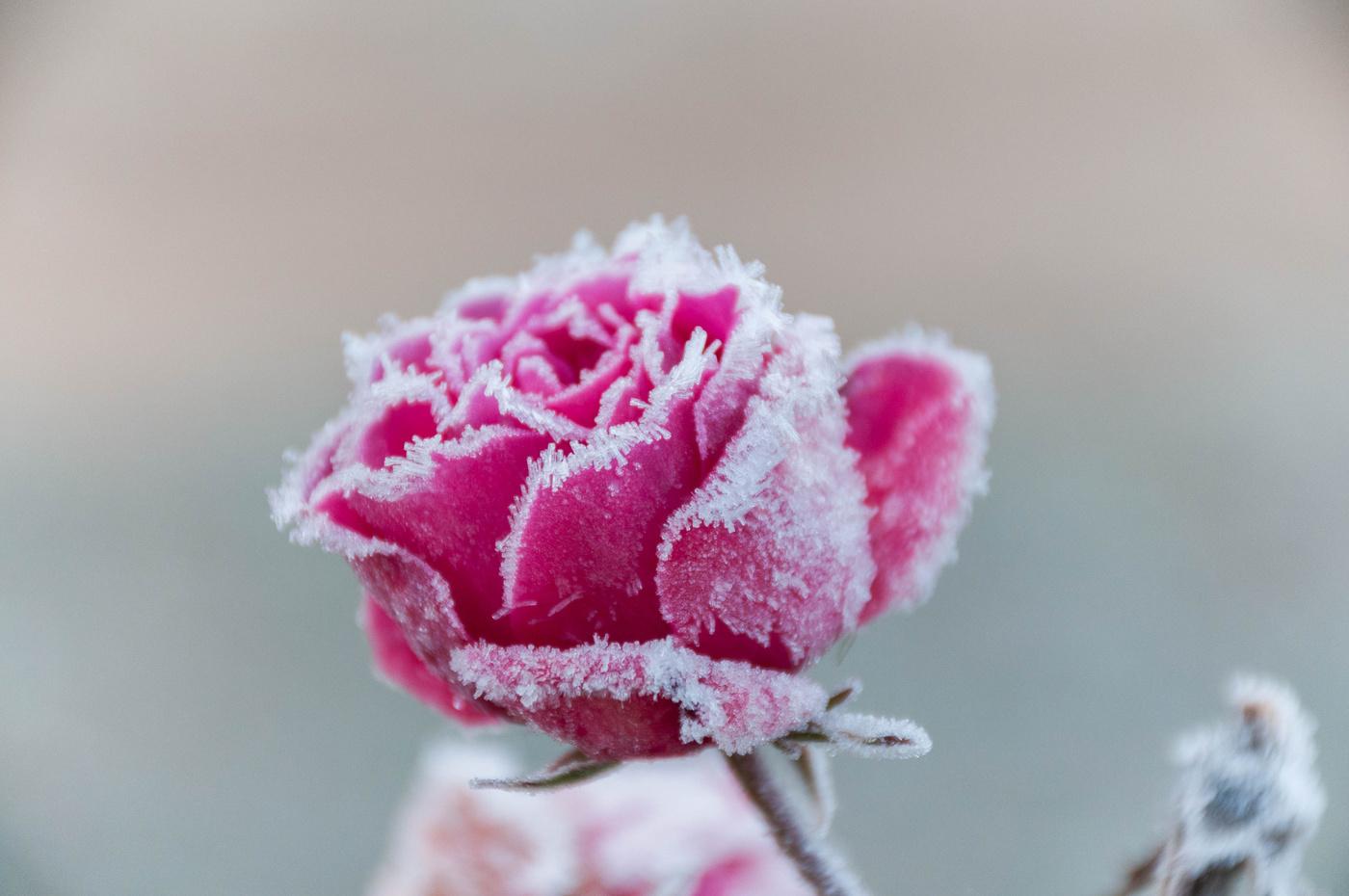 розовые розы на снегу фото чтоб отчете форме