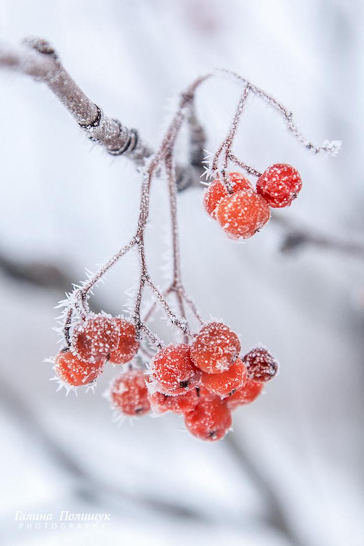 Картинка рябина в снегу на телефон