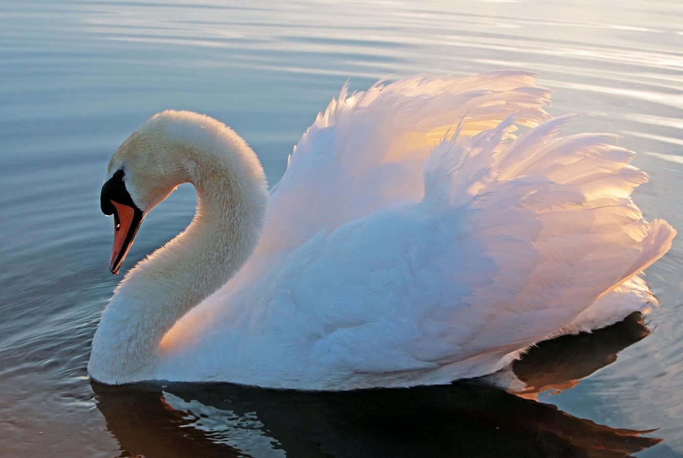 Марта картинки, лебеди картинки фото