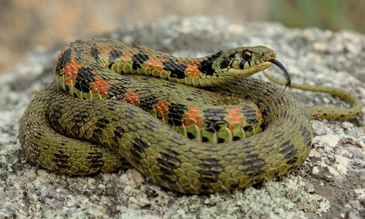 Змеи название и картинки