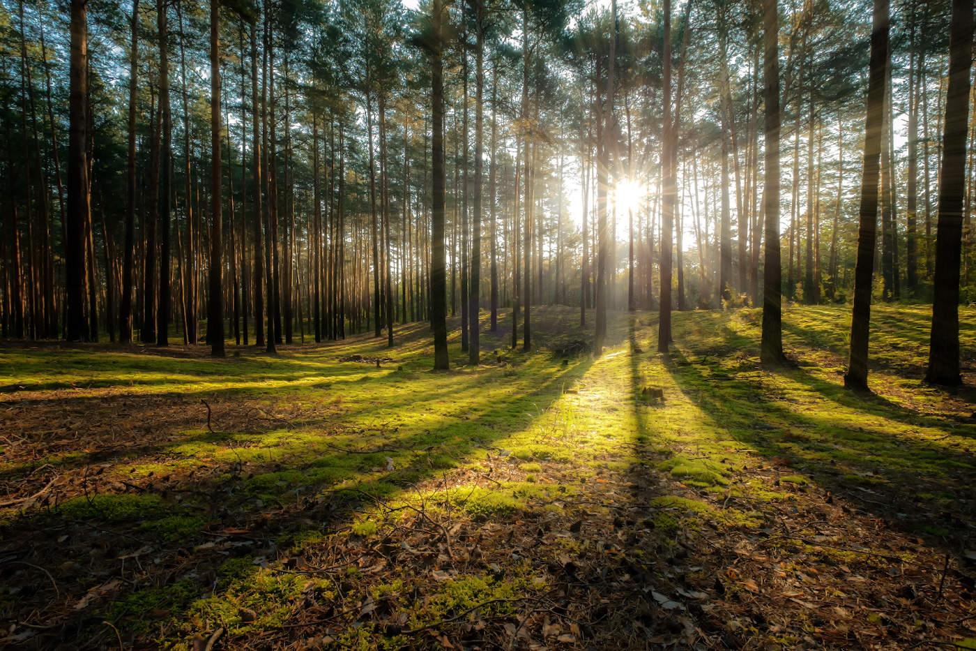 Картинки соснового леса
