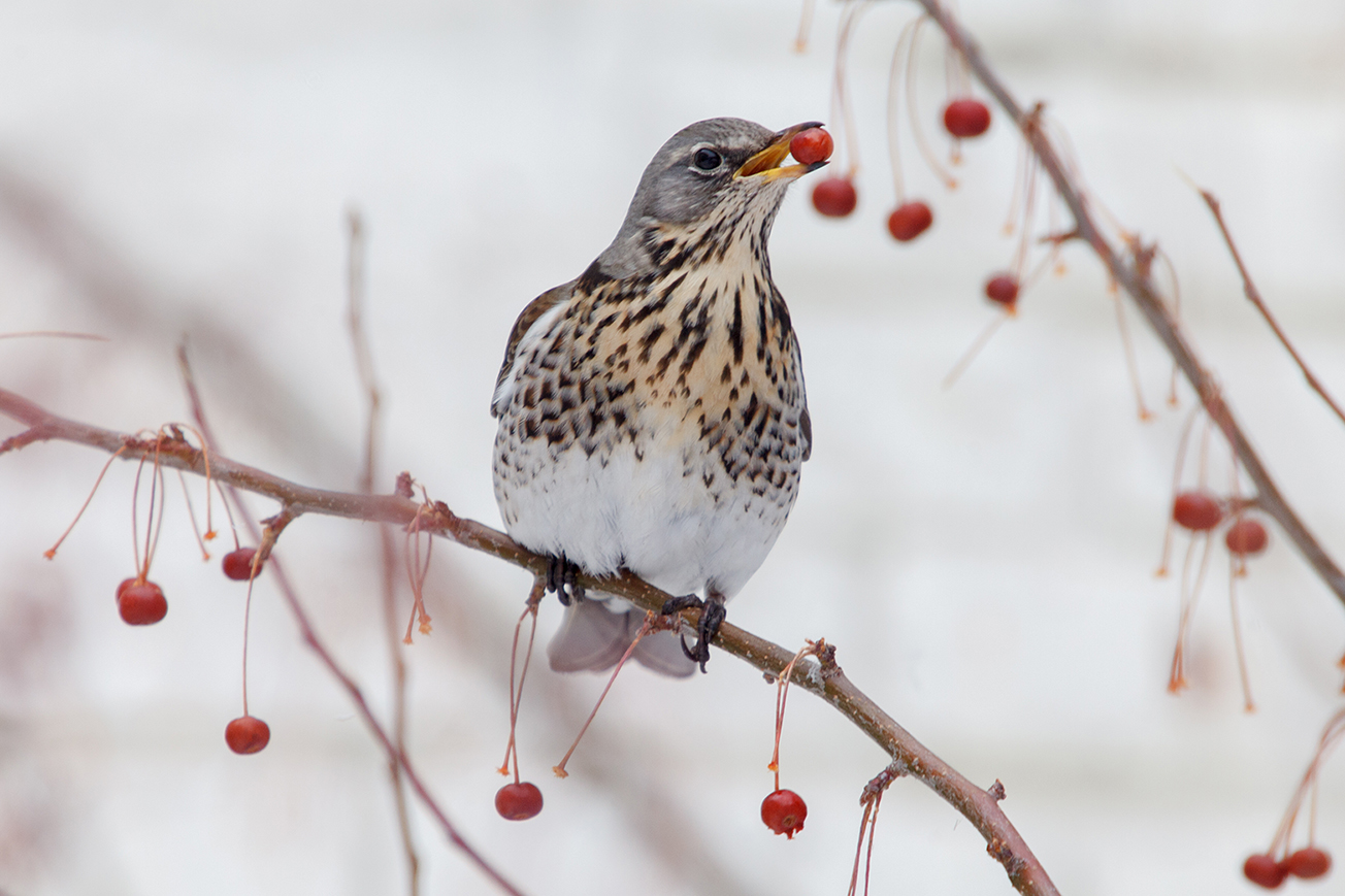 дрозд фото птицы зимой витрина