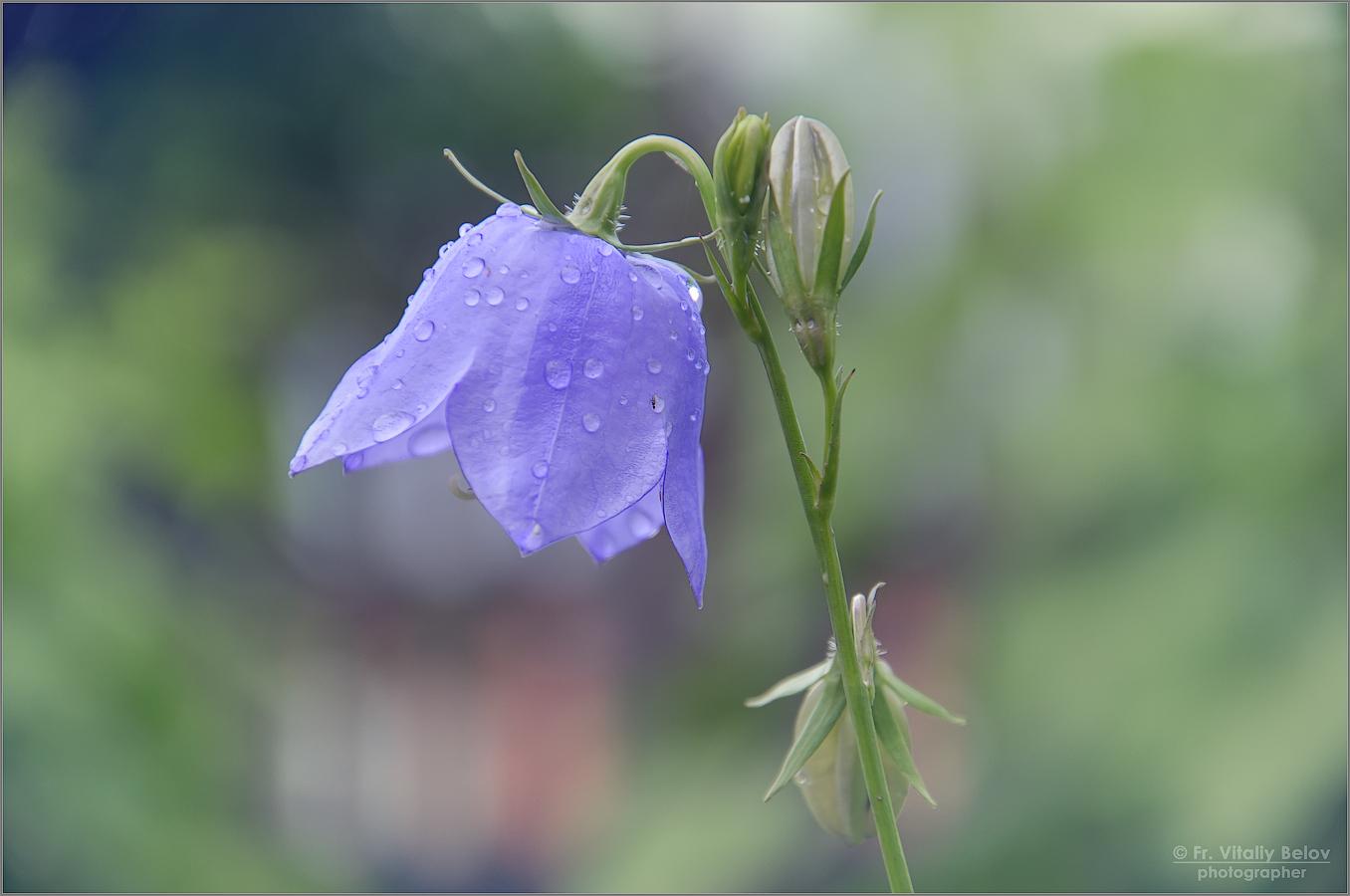 признанию картинки как выглядит цветок колокольчик база
